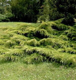 Gelber Pfitzerwacholder 30-40cm - Juniperus media