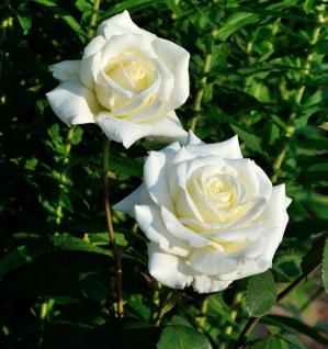 Edelrose Memoire 30-60cm