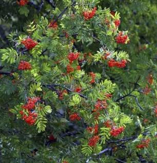 Eberesche Dodong 80-100cm - Sorbus Dodong