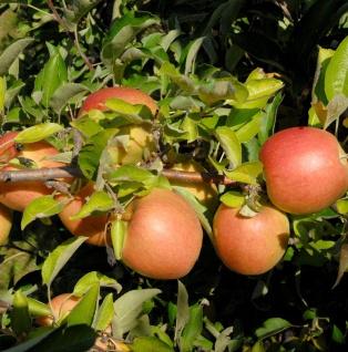 Apfelbaum Jonathan 60-80cm - feinwürzig und fest