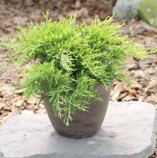 Goldgelber Wacholder Old Gold 15-20cm - Juniperus media