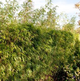 Heckenbambus 80-100cm - Fargesia rufa