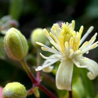 Gemeine Waldrebe Clematis 40-60cm - Clematis vitalba
