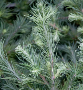 Hochstamm Zwerg Lärche Grey Pearl 80-100cm - Larix decidua