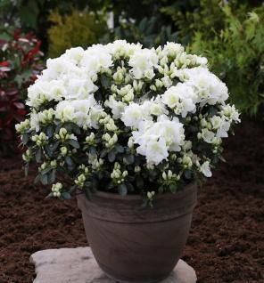 Japanische Azalee Feenkissen 20-25cm - Rhododendron obtusum - Zwerg Alpenrose