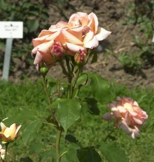 Floribundarose Apricot Nektar 30-60cm