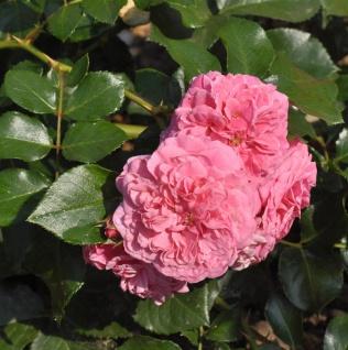 Bodendeckerrose Pink Swany 20-30cm
