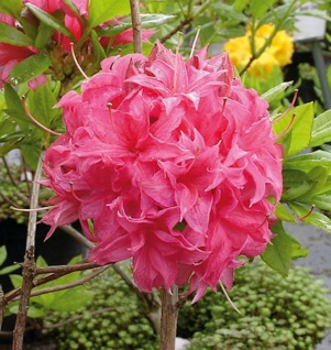 Azalee Homebush 60-80cm - Rhododendron luteum - Alpenrose
