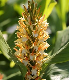 Schmetterlings Ingwer Tara - Hedychium coccineum