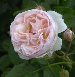Hochstamm Rose Heritage 80-100cm