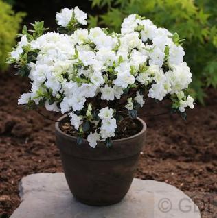 Japanische Azalee Schneewittchen 15-20cm - Rhododendron obtusum - Zwerg Alpenrose