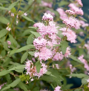 Bartblume Pink Perfection 40-60cm - Caryopteris clandonensis