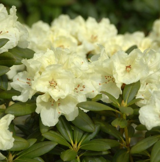 INKARHO - Rhododendron Lucinda 15-20cm - Alpenrose