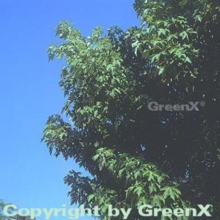 Silber Ahorn Zuckerahorn 100-125cm - Acer saccharinum