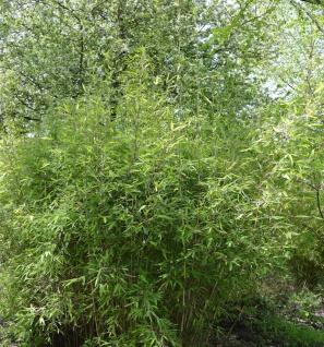 Malachite Bambus Monkeys® 80-100cm - Fargesia speciosa