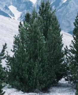 Bergkiefer Green Column 40-50cm - Pinus mugo