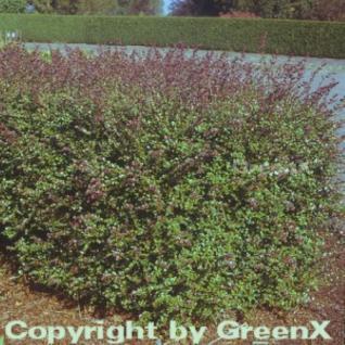 10x Heckenmyrte Red Tip 10-15cm - Lonicera nitida