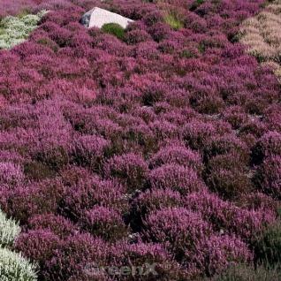 10x Besenheide Roter Oktober - Calluna vulgaris