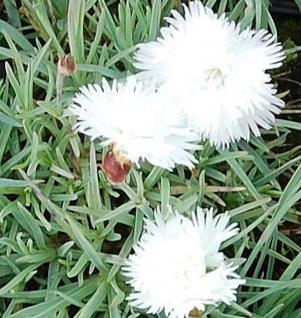 Pfingstnelke Ohrid - Dianthus gratianopolitanus