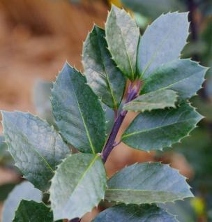 Hochstamm Stechpalme Ilex Heckenblau® 100-125cm - Ilex meserveae