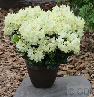INKARHO - Großblumige Rhododendron Goldinetta® 25-30cm - Alpenrose