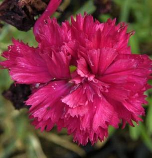Federnelke Desmond - Dianthus plumarius