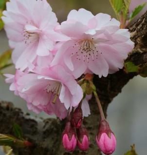 Frühe Zierkirsche 100-125cm - Prunus Accolade