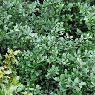 Hochstamm Japanische Stechpalme Blondie Buxbol 40-60cm - Ilex crenata