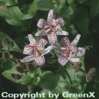 Japanische Krötenlilie - Tricyrtis hirta