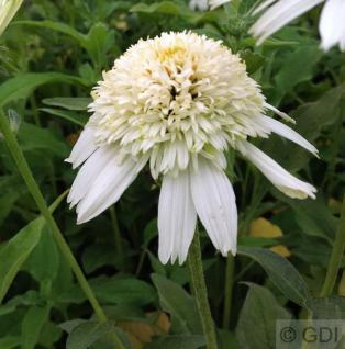 Sonnenhut White Double Delight - Echinacea purpurea