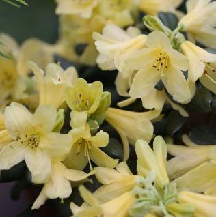 Wild Alpenrose 40-50cm - Rhododendron ambiguum