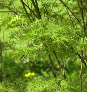 Geschlitztblättriger Fächer Ahorn Seiryu 125-150cm - Acer palmatum