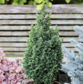 Kegelzypresse Top Point 30-40cm - Chamaecyparis thyoides