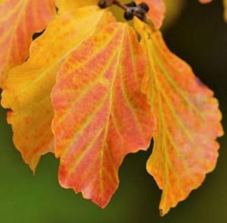 Eisenholzbaum Vanessa 100-125cm - Parrotia persica
