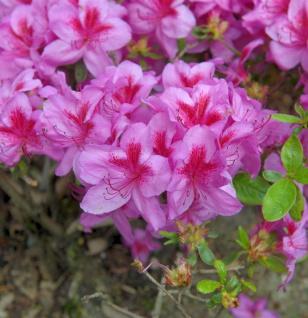 Japanische Azalee Peppina® 15-20cm - Rhododendron obtusum - Zwerg Alpenrose