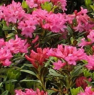 Rostblättrige Alpenrose 25-30cm - Rhododendron ferrugineum