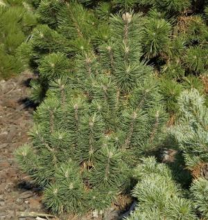 Kegel Bergkiefer 40-50cm - Pinus mugo