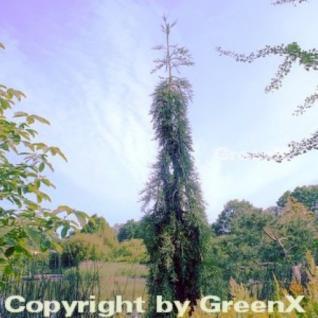 Überhängender Mammutbaum 100-125cm - Sequoiadendron giganteum