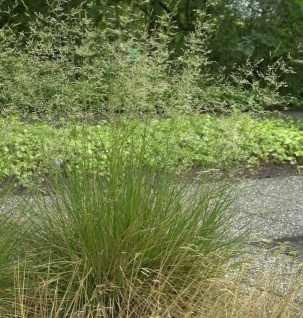 Rasen Schmiele - Deschampsia cespitosa
