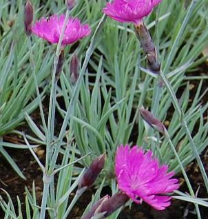 Pfingstnelke Feuerhexe - Dianthus gratianopolitanus