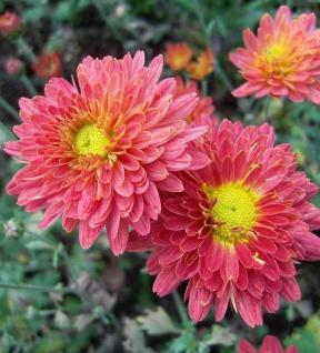 Chrysanthemum Indicum Winteraster Weißer Riese