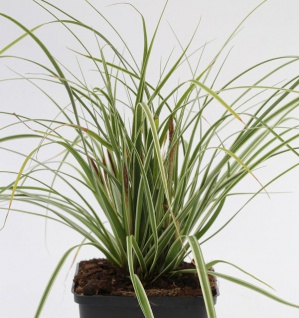 Brokat Segge Gold Fountains - Carex dolichostachya