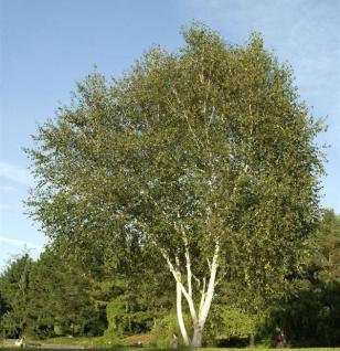 Weißrindige Himalaja-Birke Trinity College 80-100cm - Betula utilis