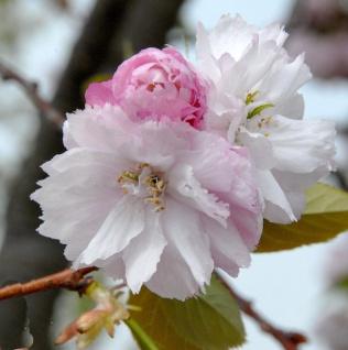 Hochstamm Fuji-Kirsche February Pink 80-100cm - Prunus incisa