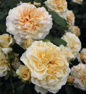 Nostalgierose Comtessa® 30-60cm - Tantau Rose