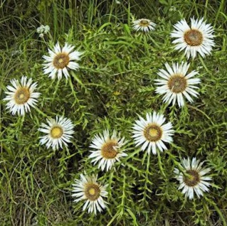 Silberdistel Silver Star - Carlina vulgaris - Vorschau