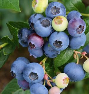 Heidelbeere Blaue Perle 40-60cm - Vaccinium corymbosum