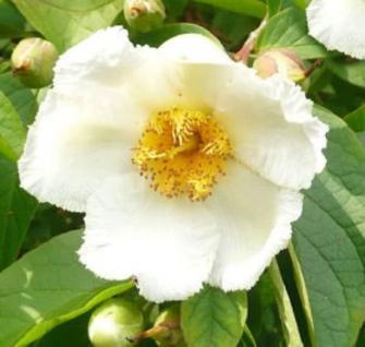 Japanische Scheinkamelie 60-80cm - Stewartia pseudocamellia