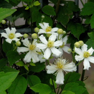 Waldrebe Paul Farges 100-125cm - Clematis fargesioides