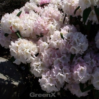 INKARHO - Rhododendron Silver Lady 30-40cm - Alpenrose